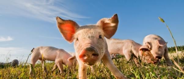 Les problèmes éthiques de la chimère porc-homme
